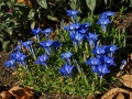 Gentiana 'The Caley'