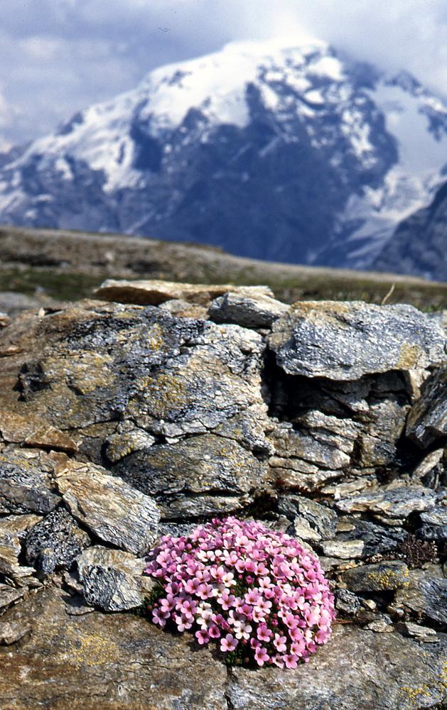 Androsace-alpina