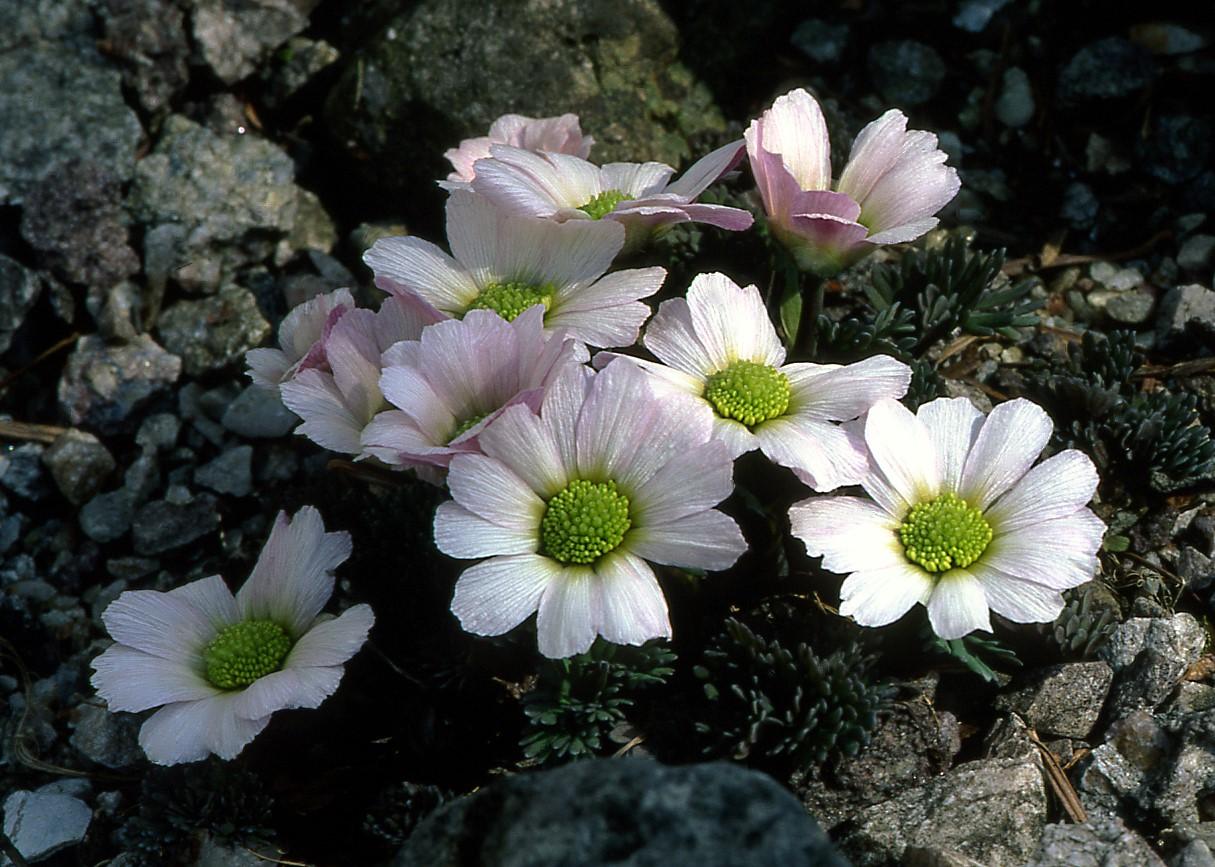Callianthemum-anemonoides