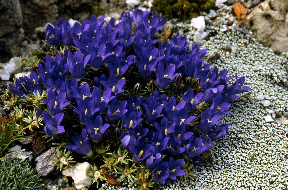 Edraianthus-serpyllifolius-Major