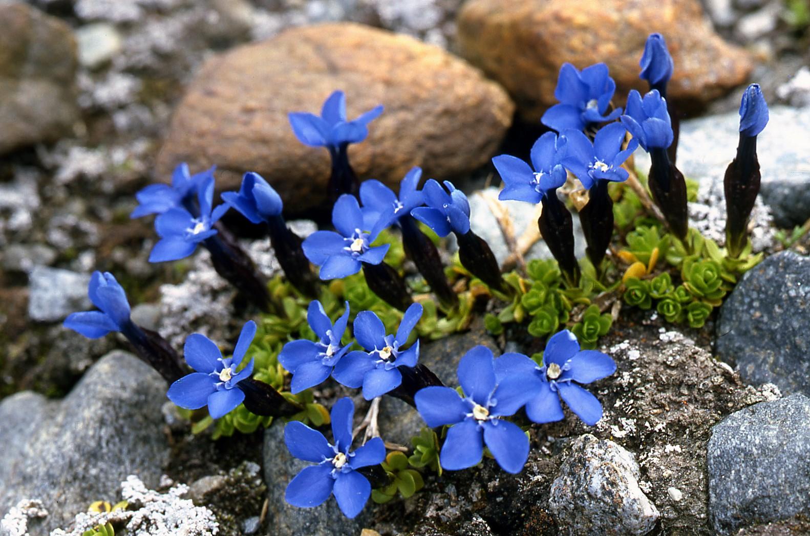 Gentiana-bavarica-ssp-imbricata-2