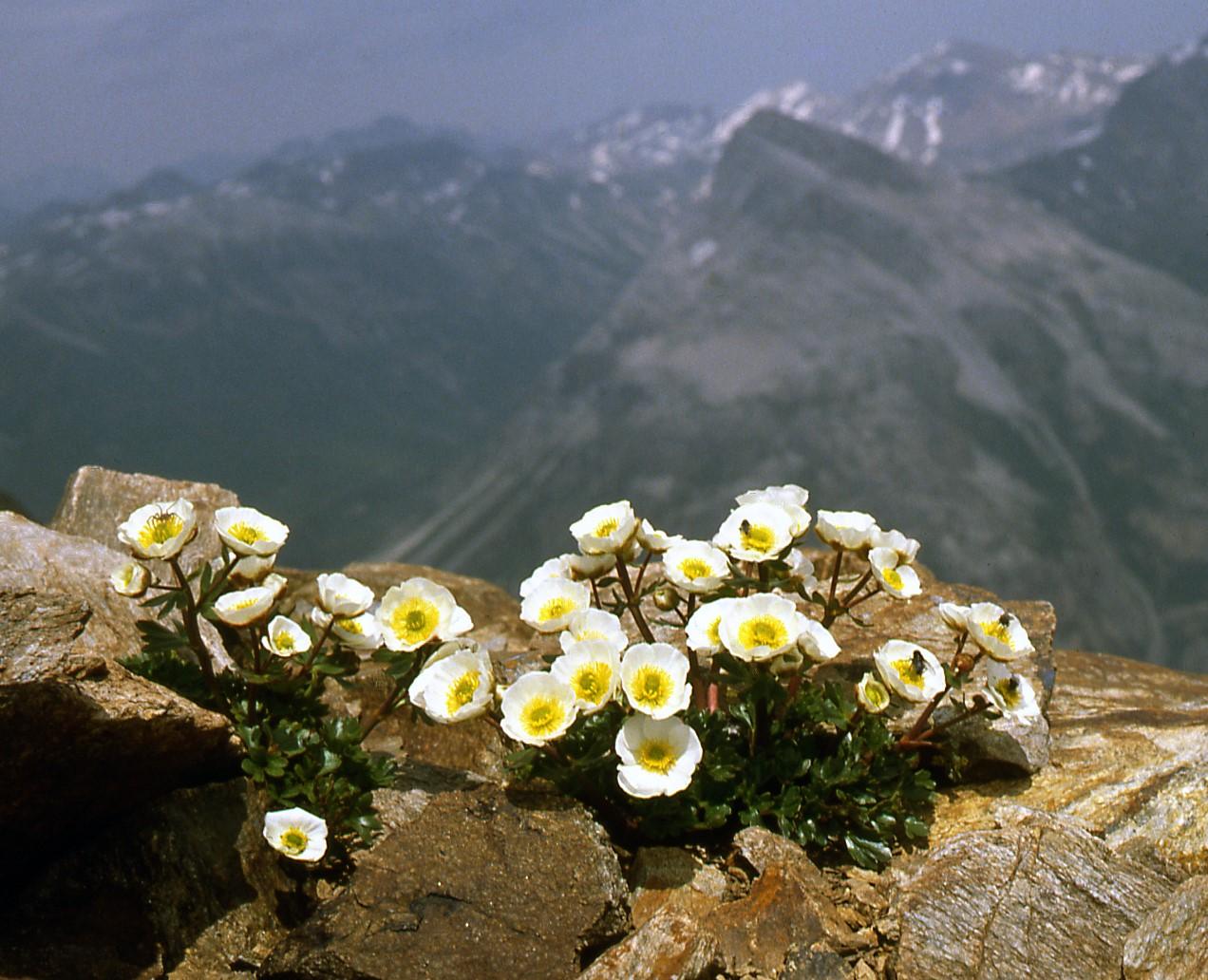 Ranunculus-glacialis 3