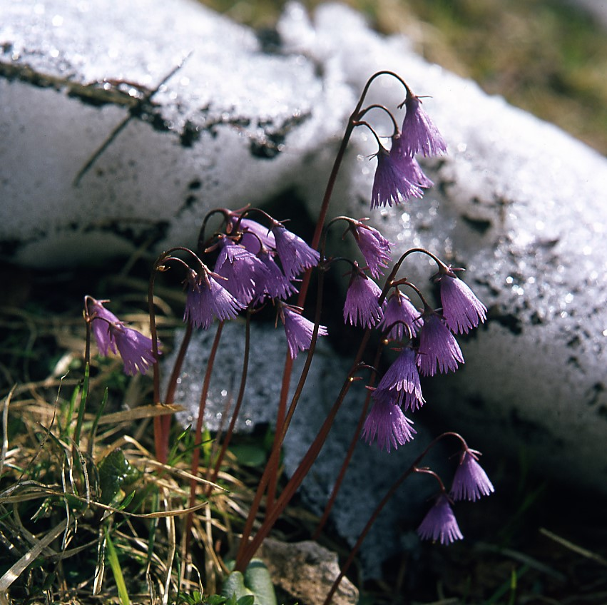 Soldanella-alpina-x-pusilla