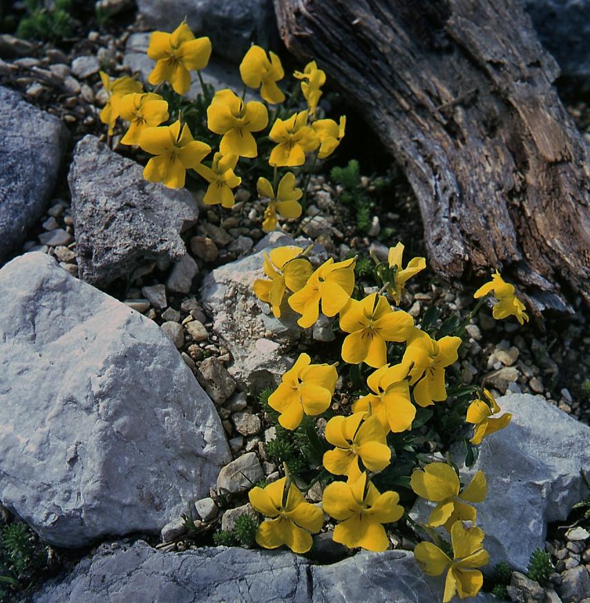 Viola-calcarata-ssp-zoysii